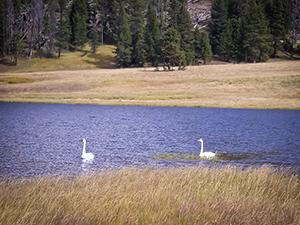 Grieb Lake Swans