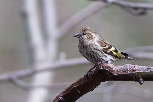 winter pine siskin