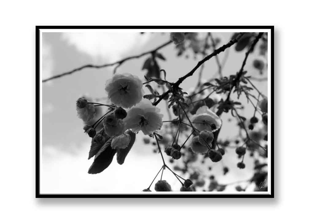 Black and white blossom