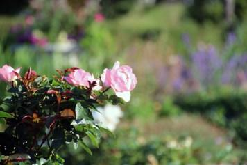 Pink Roses Leif Erickson Rose Garden