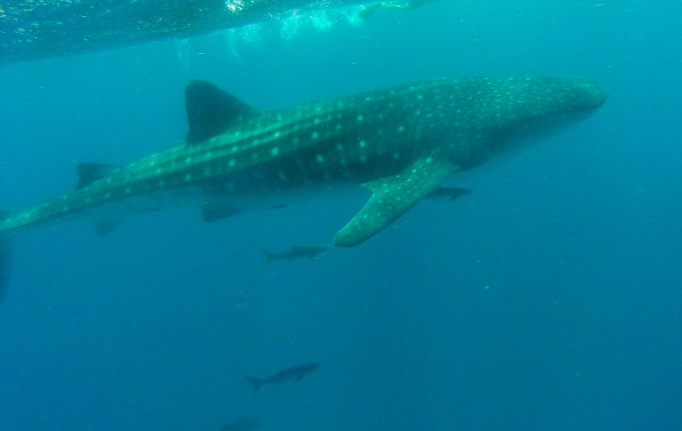 Side view of a whale shark just under the surface of the Indian Ocean, Mozambique
