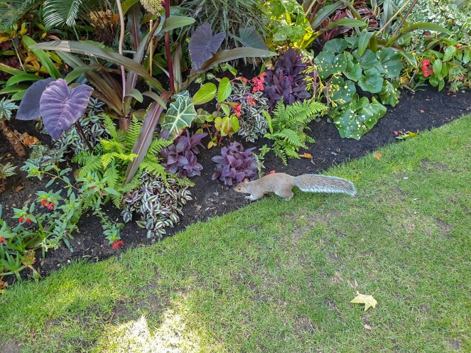 A grey squirrel by the plants in St James's Park