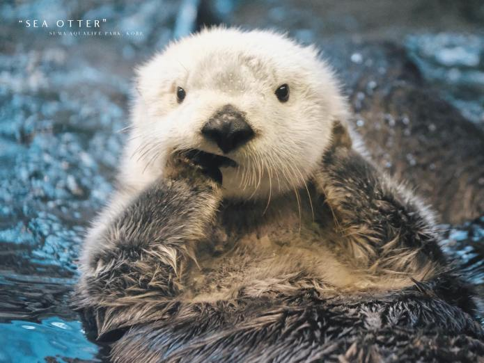 Sea Otter @ Suma Aqualife Park, Kobe