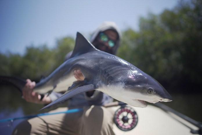 Bull Shark 3