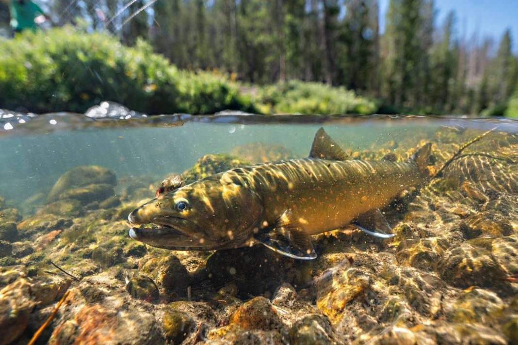 Underwater Bull Trout