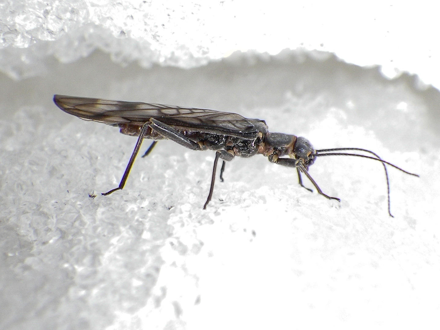 "Two Glacier Nat'l Park Stonefly Species Listed Under ""Threatened Status"" - Flylords Mag"