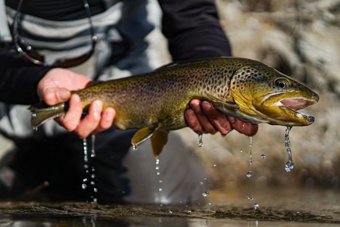 A big brown trout caught while fly fishing on the South Platte river