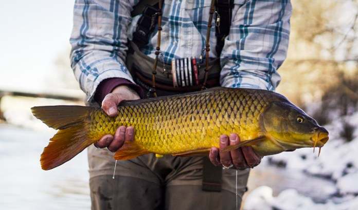 A carp caught while fly fishing on the South Platte River through Denver