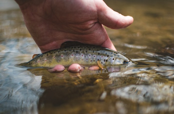 A Wild Brown Trout being released back into the stream