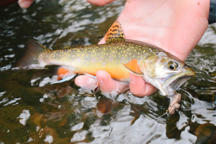 Brook Trout on a mouse fly