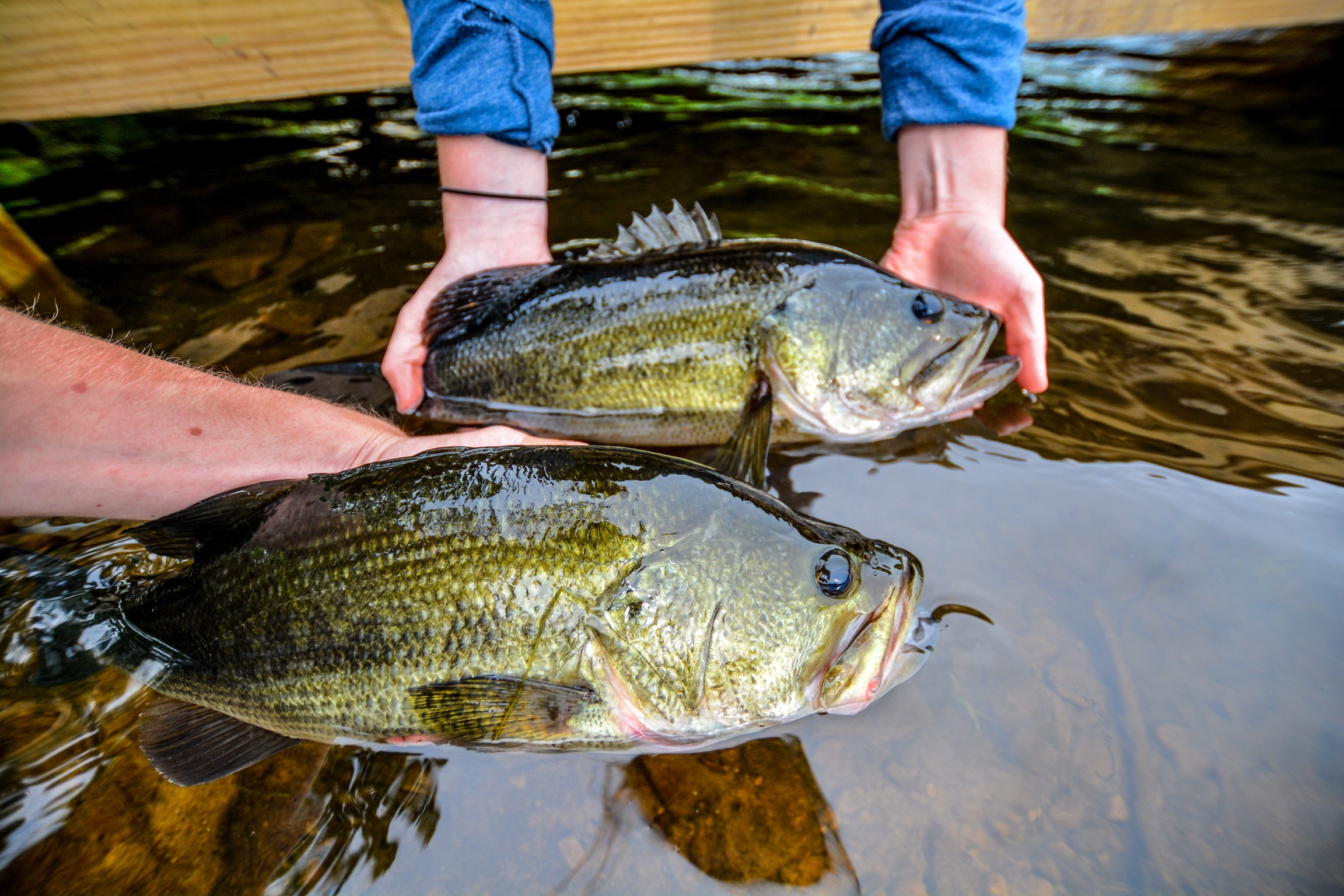 Fly Fishing For Early Season Largemouth Bass Flylords Mag