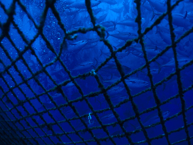 Netting in the foreground with a hole. School of tuna in the background.