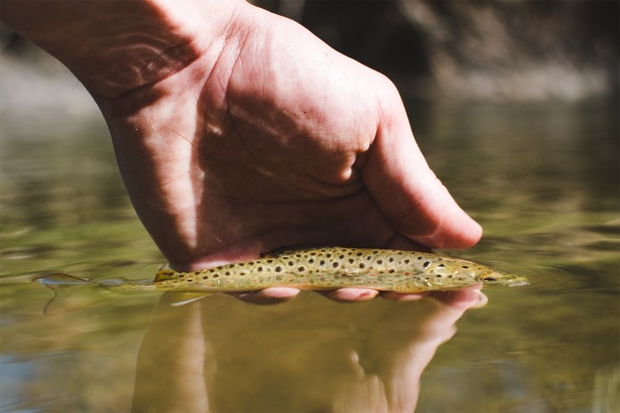 Shooting at water level with a Wild Brown Trout