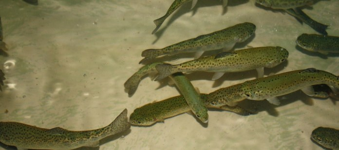 Rainbow trout with bacteria infection