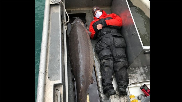 This image shows the massive lake sturgeon that was caught.