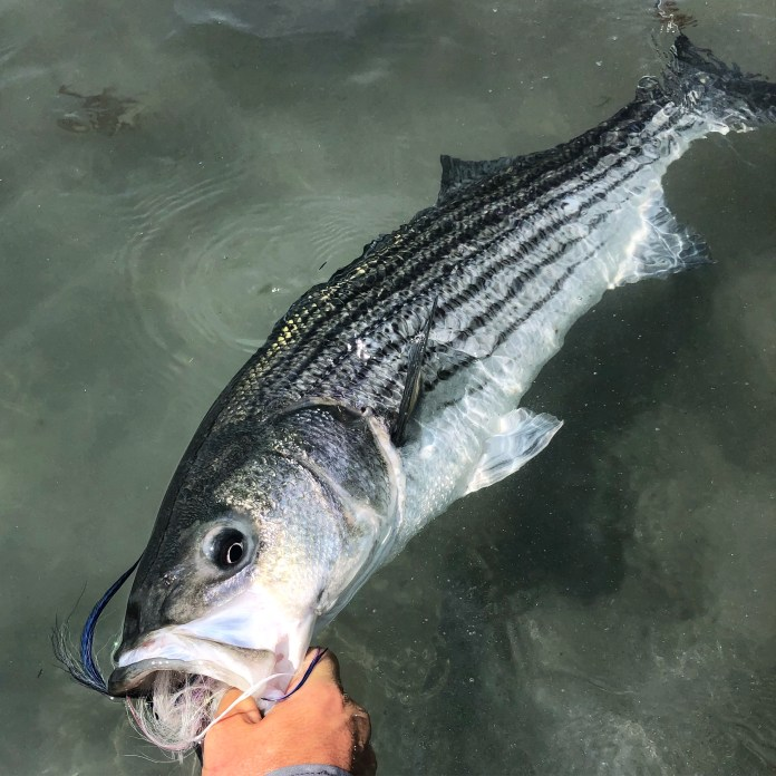 Angler holding a striped bass in the water