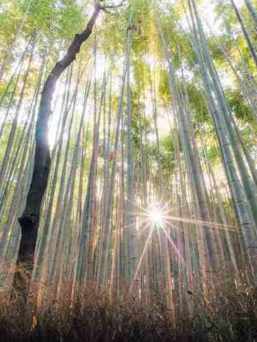 The morning sun peeping through the tall bamboo trees at Arashiyama Bamboo Grove in Kyoto, Japan