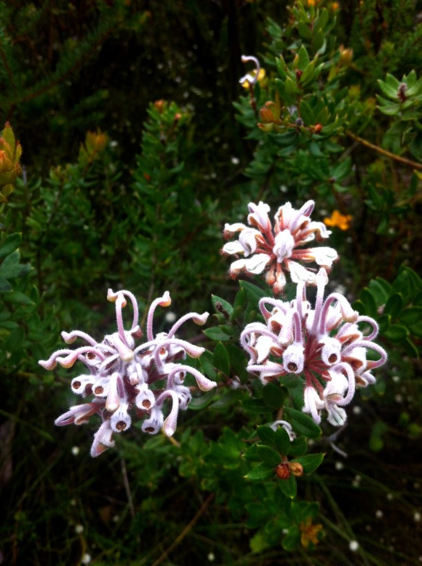 Native flora - the Grevilia buxifolia, or much cooler -the grey spider flower.