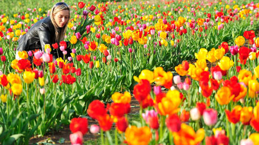A woman picks tulips in a field in the central German town of Heppenheim on April 16, 2010.
