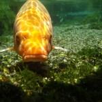 まな板の鯉ってどんな意味?なぜ鯉になったのかを追ってみる。