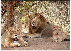 Gir Forest Lions