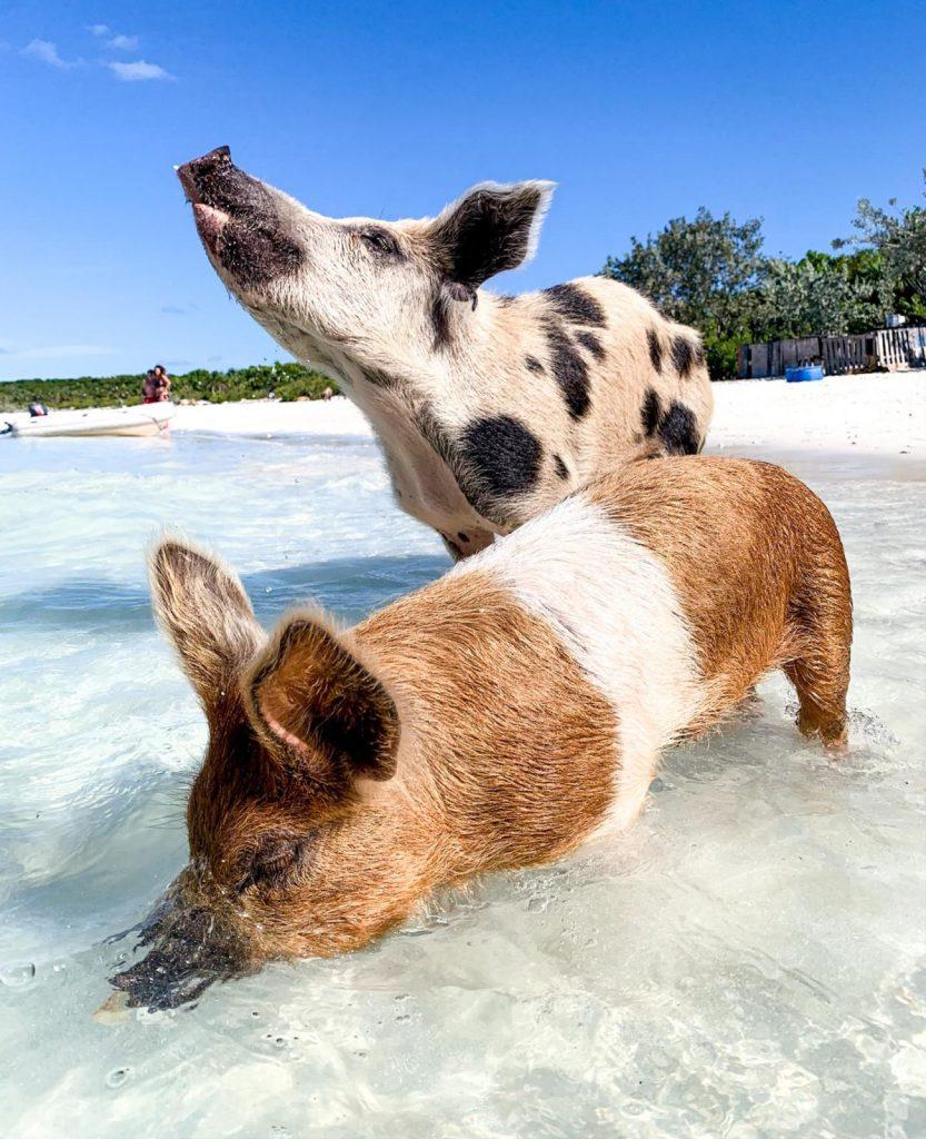 L'ile aux cochons Bahamas