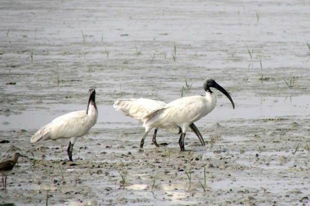 Birds Nijhum Dwip