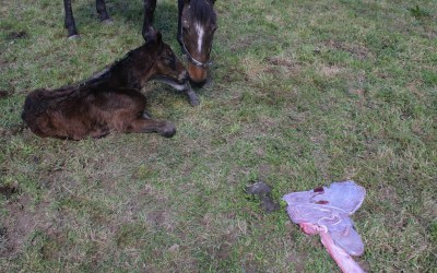 Five things every breeder should (but may not) know about the mare's placenta