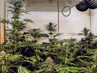 Consumo de marihuana: experiencia vs. evidencia