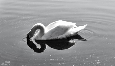Black and White Swan Eating