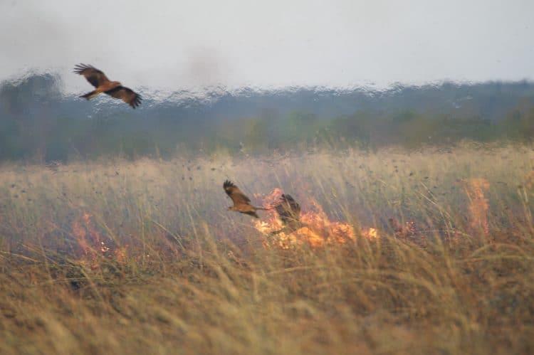 Australian raptors start fires to flush out prey