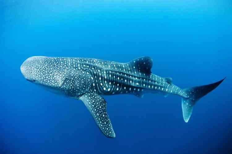 Whale Sharks Feed On Small Fish