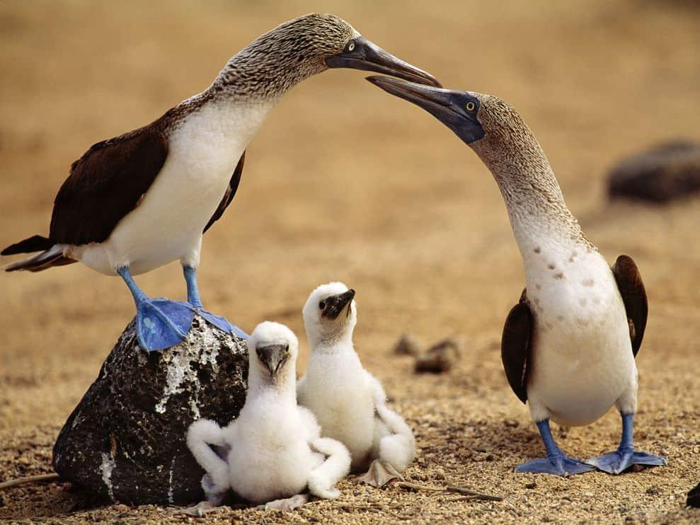 Birds Blue Feet Galapagos Islands