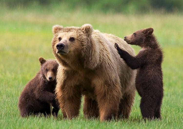 Lawsuit Forces Feds to Take New Look at Status of Grizzly Bears