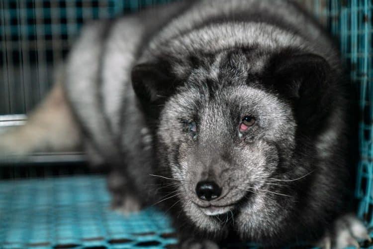 Petition – Fur farming – Finland's shame