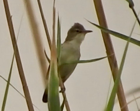Possible Breeding Basra Reed Warbler in Al Ha'ir, Riyadh Province, KSA