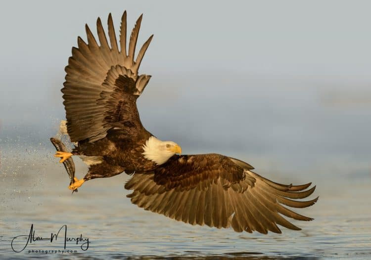 Bald eagles across the United States are dying from lead poisoning