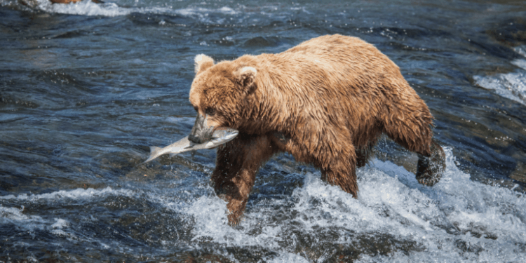 """POLL: Should """"Toxic Mining"""" be banned to protect Alaska's brown bears?"""