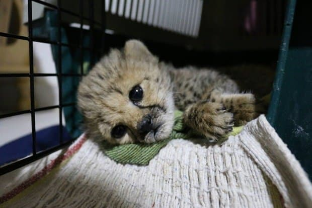 29 Cheetah Cubs Rescued From Wildlife Smugglers