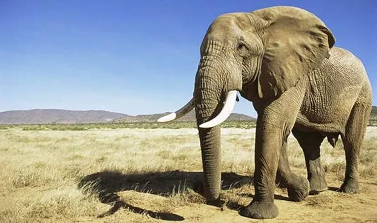 Poachers are driving African elephants towards extinction