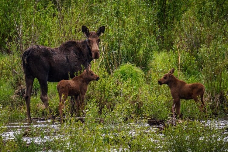 Slain 'town moose' with twins reportedly results in two charged