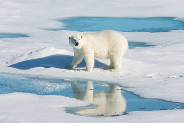 People Are Paying to Participate in Organized Polar Bear Hunts