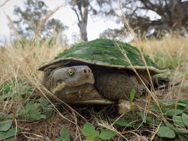 Could a million freshwater turtles help clean up some of Australia's polluted rivers? A team of scientists believes, they could!