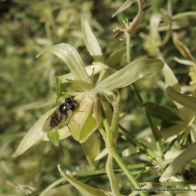 Common Hover Fly on Small-leaved Clematis