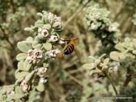Honey bee on Downy Zieria