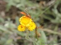 Ichneumon wasp on Common Everlasting
