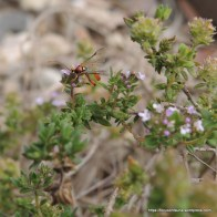 Ichneumon wasp on thyme