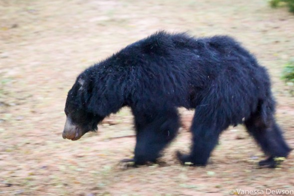 Sloth Bear in Yala National Park