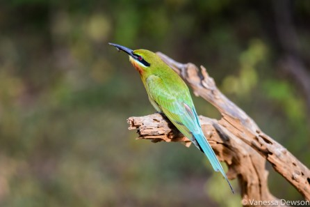 Bee Eater with a catch