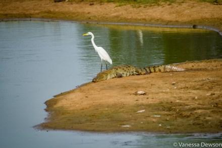 A very odd couple - heron and crocodile